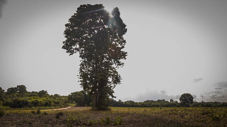 Castanheira, árvore protegida por lei, sobrevive sozinha em meio a campo de soja. Foto: Carol Ferraz / Amigos da Terra Brasil